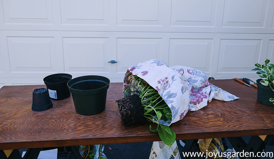 a pothos houseplant with the trails wrapped in a pillow case sits on a work table with grow pots & another pothos