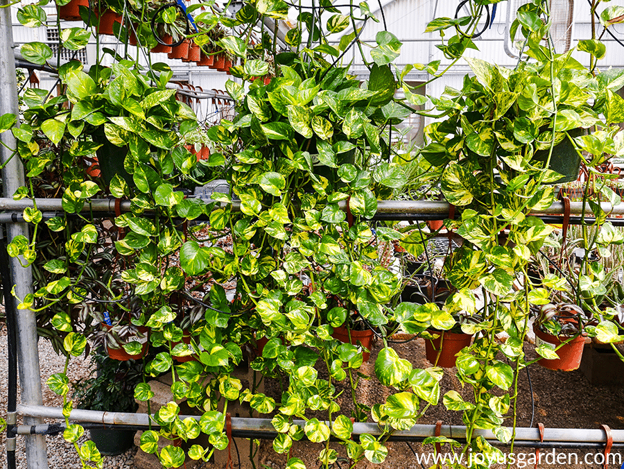 3 hanging golden pothos plants with long trails