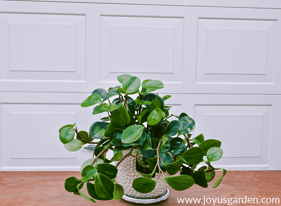 A peperomia obtusifolia baby rubber tree plant with trailing stems in a white ceramic pot