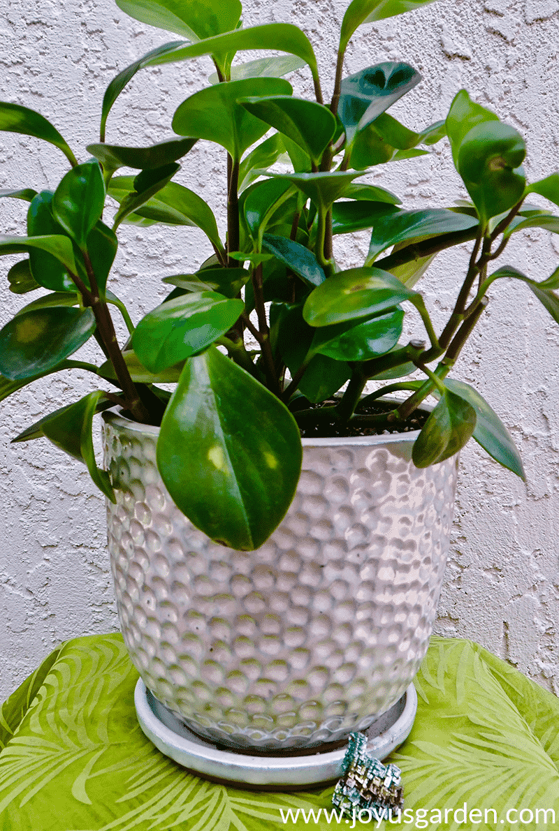close up of a baby rubber plant peperomia obtusifolia in a white ceramic pot