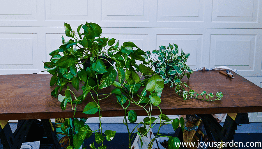 a golden pothos & a pothos n joy sit next to each other on a work table