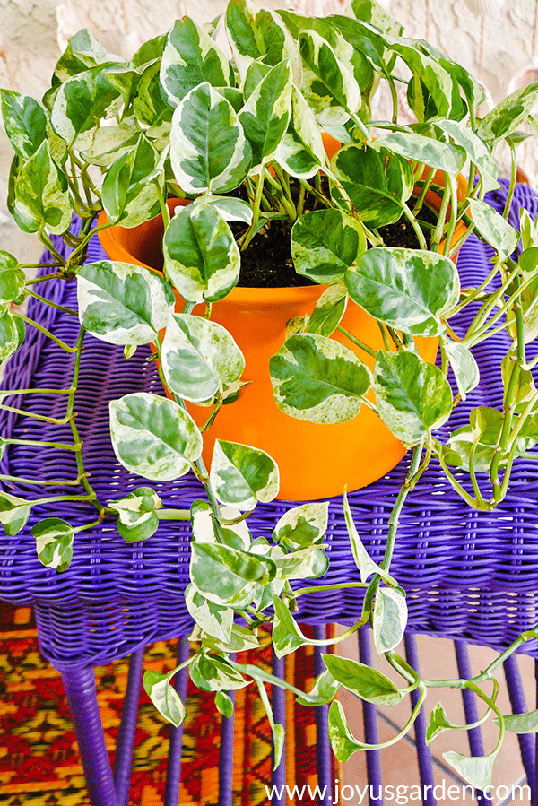 close up of an N Joy pothos plant in a bright yellow pot on a purple table