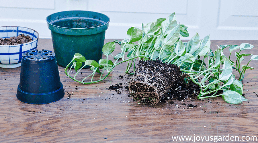 the exposed root ball of a pothos n joy on a work table next to grow pots & a small bowl with potting soil