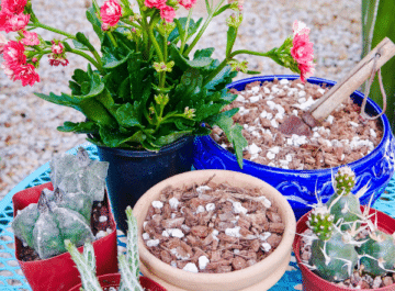 4 succulents surround 2 pots filled with diy succulent & cactus mix