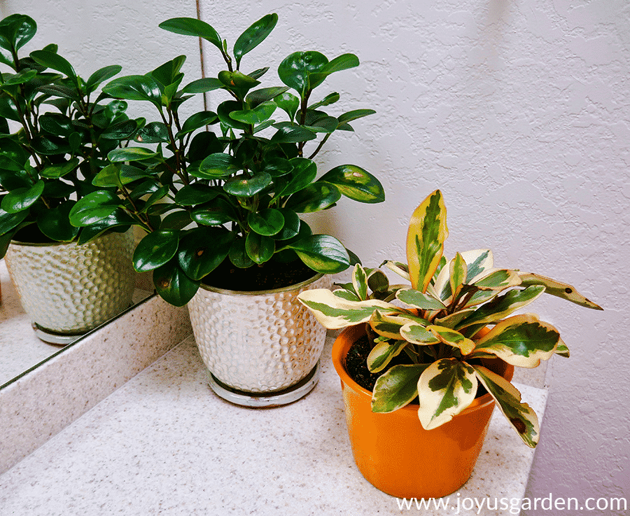 a baby rubber plant peperomia & a rainbow peperomia sit next to each other on a counter
