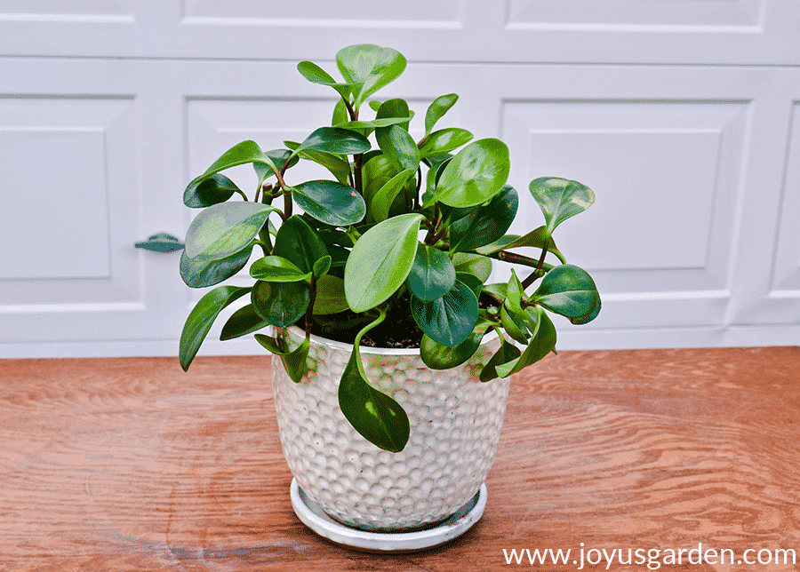 a peperomia obtusifolia baby rubber plant after its pruning
