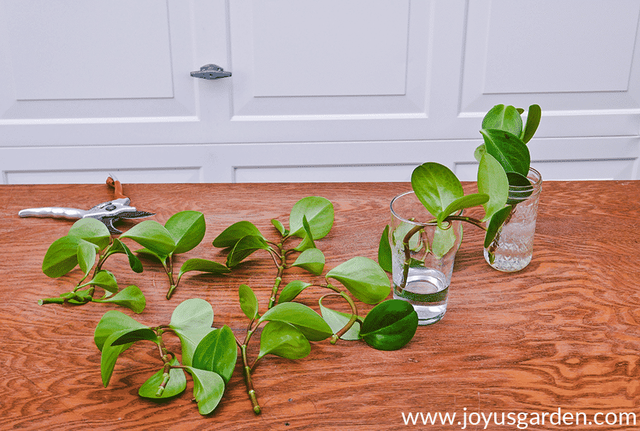 peperomia baby rubber plant cuttings on a table & in glass vases sit next to felco pruners