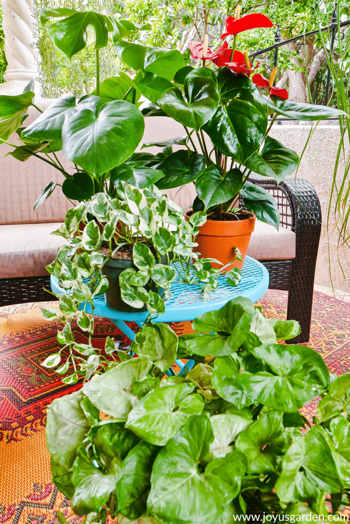 monstera anthurium & pothos houseplants sit on a teal table with an arrowhead plant on the floor