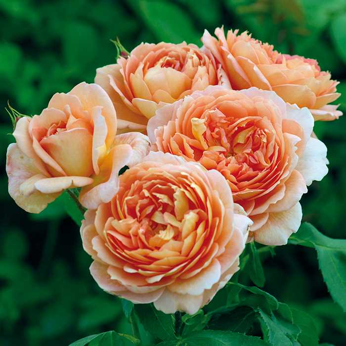 close of of beautiful apricot colored carding mill rose flowers