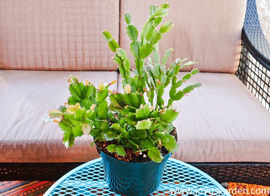 a christmas cactus in a green grow pot sits on a teal patio table