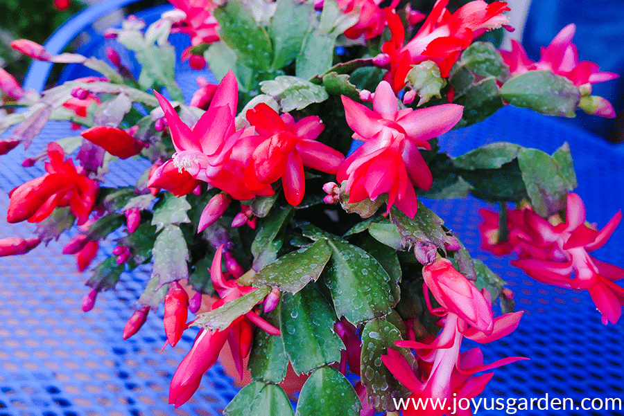 close up of a Red Christmas Cactus with open blooms & lots of buds