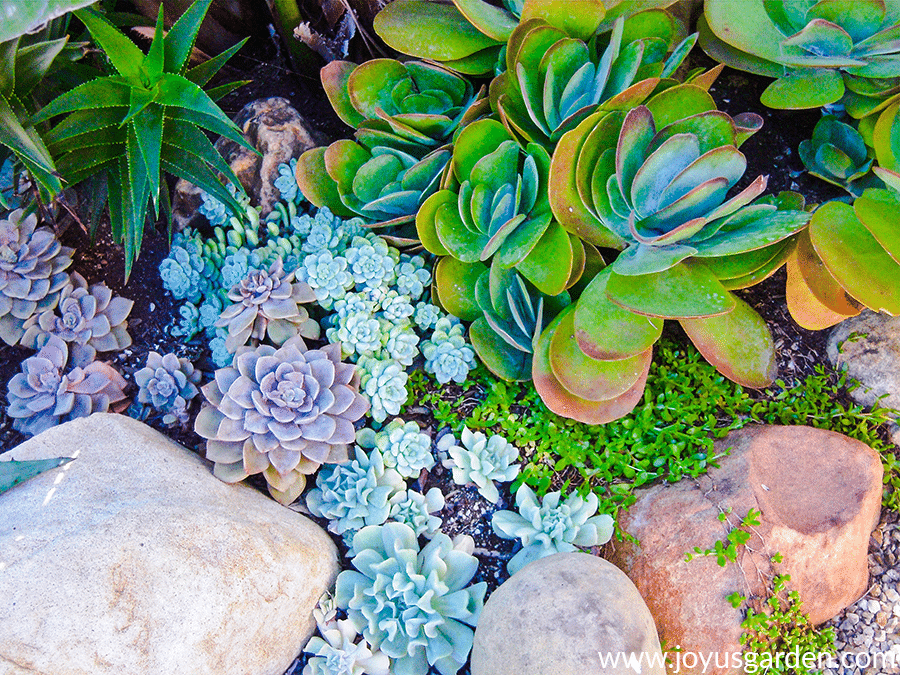 Colorful succulents growing outdoors in the ground in Santa Barbara, CA