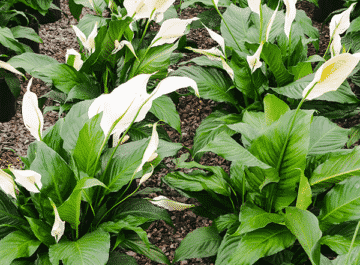 close up of peace lily spathiphyllum plants with flowers lined up in rows in a greenhouse