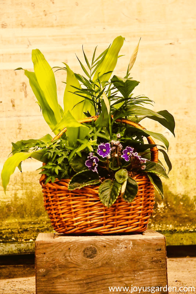 a mixed houseplant garden in a basket consisting of a peace lily dracaena neanthebella palm english ivy & african violet
