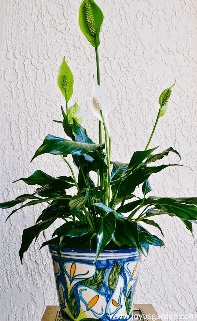 Peace lily with white & green flowers on display in gorgeous blue pot