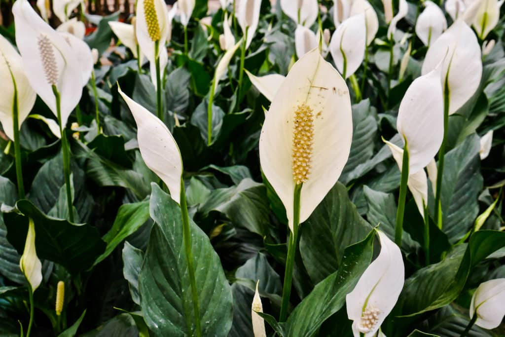 close up of many white peace lily spathiphyllum flowers