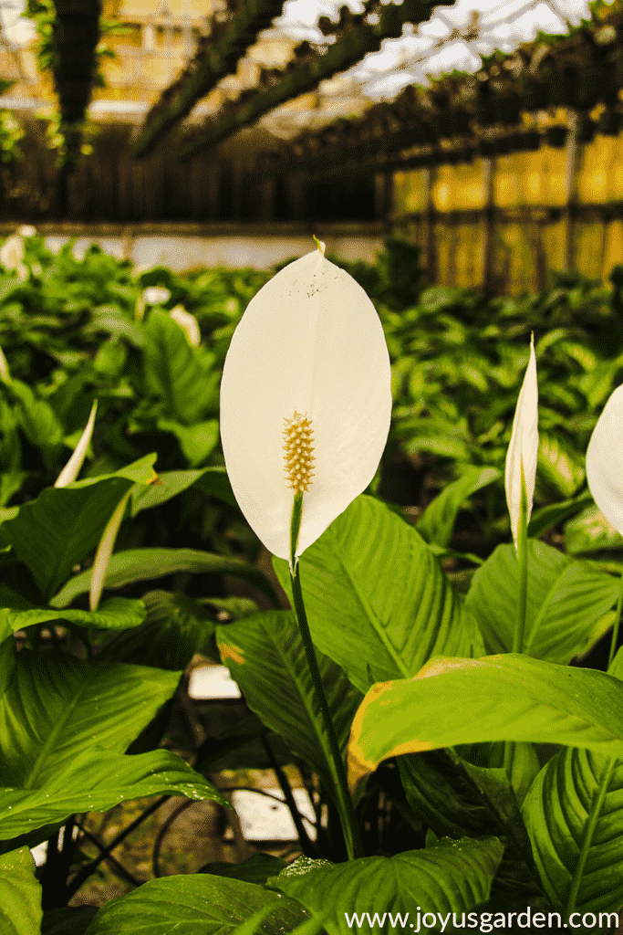 a white peace lily flower with other peace lilies in the background