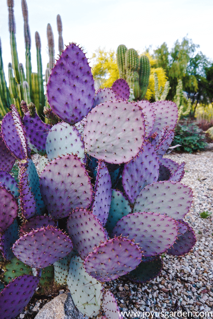 Close up of a beautiful Purple Prickly Pear growing in Tuscon, Arizona
