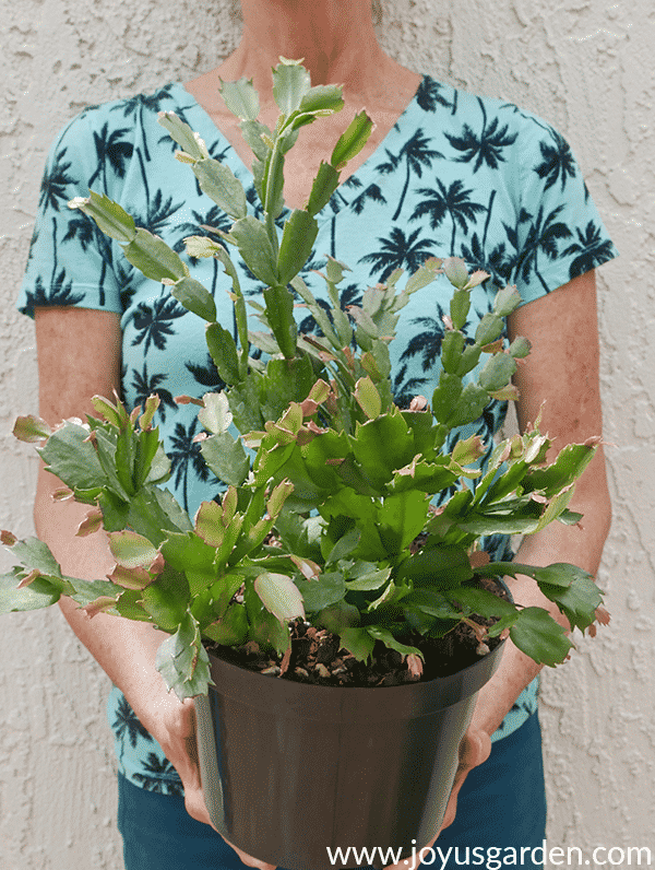nell foster holds a christmas cactus in a green plastic grow pot
