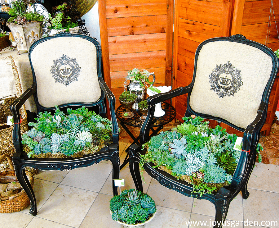 a display with two vintage chairs planted with mixed succulents & succulents in small containers surrounding them