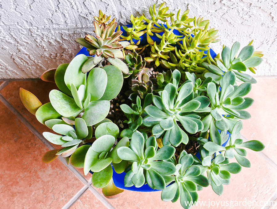 looking down on a variety of succulents planted in blue container