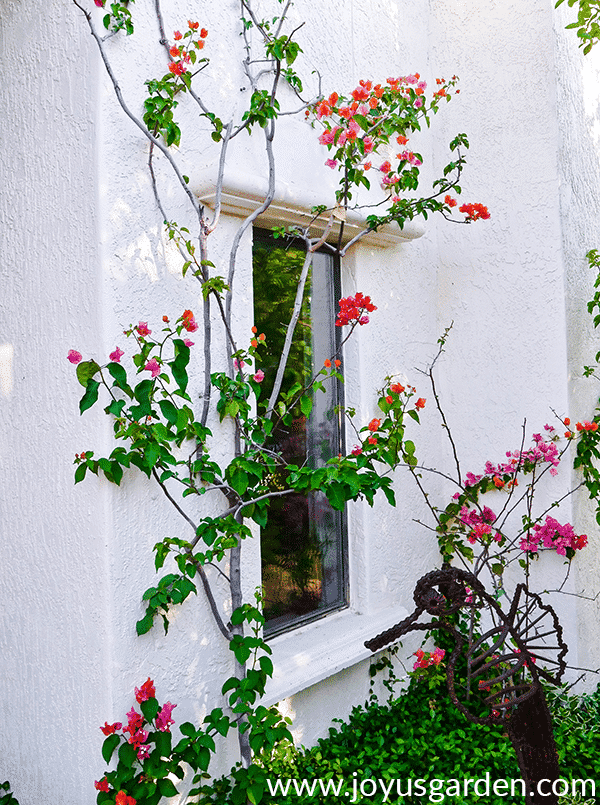 3 thin bougainvilleas grow against a white house in early spring