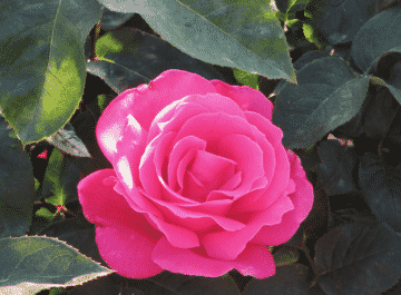 close up of a beautiful deep pink perfume delight rose flower