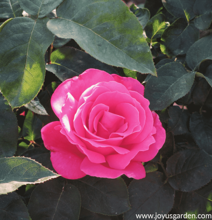Roses We Love for Container Gardening