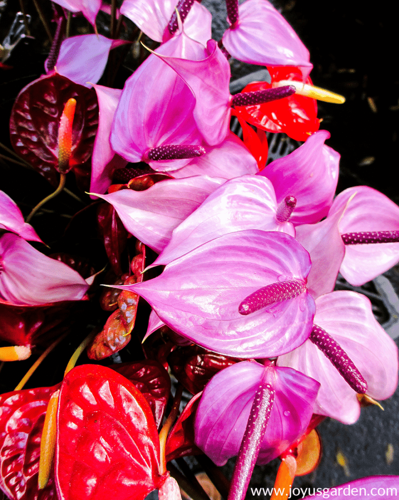 Purple & red anthurium flower stems