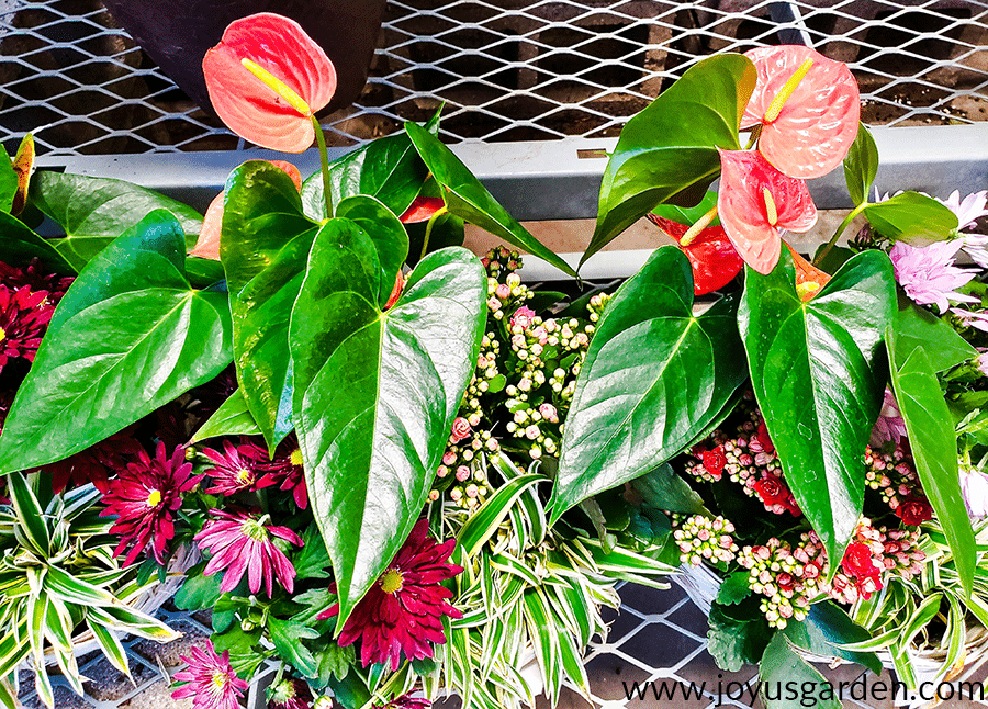 Two anthurium plants with red flowers clustered with other colorful flowers in dish gardens