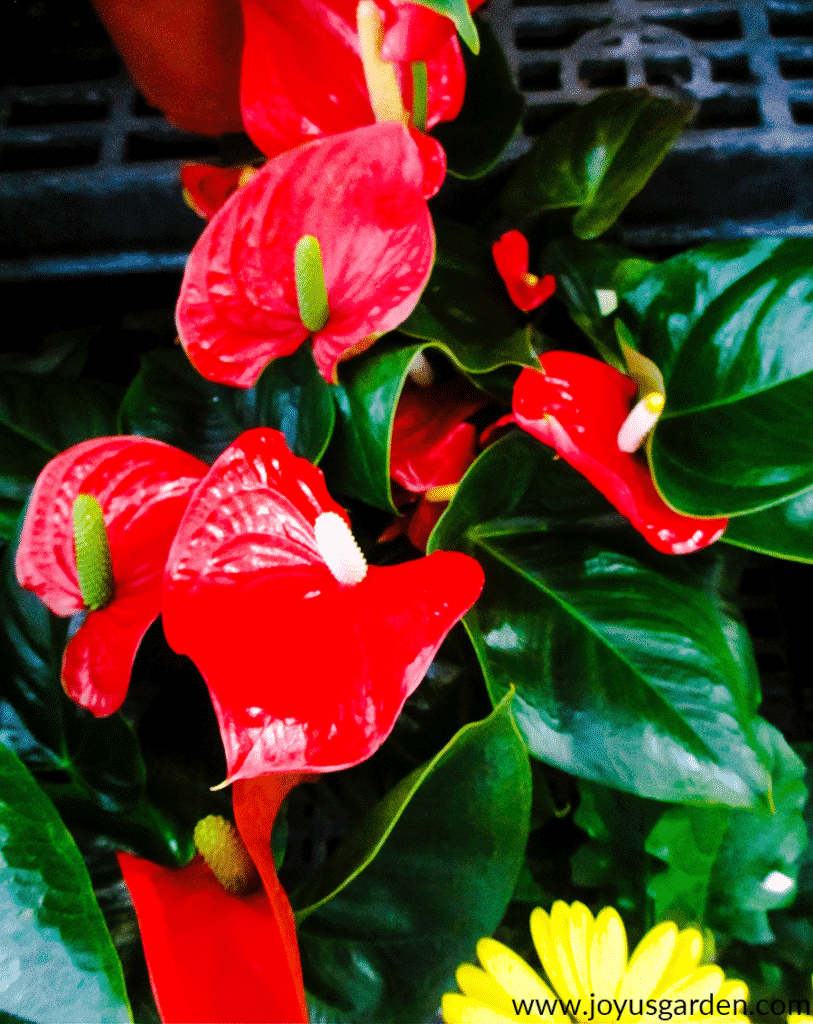 close up of an anthurium plant with lots of red flowers on it