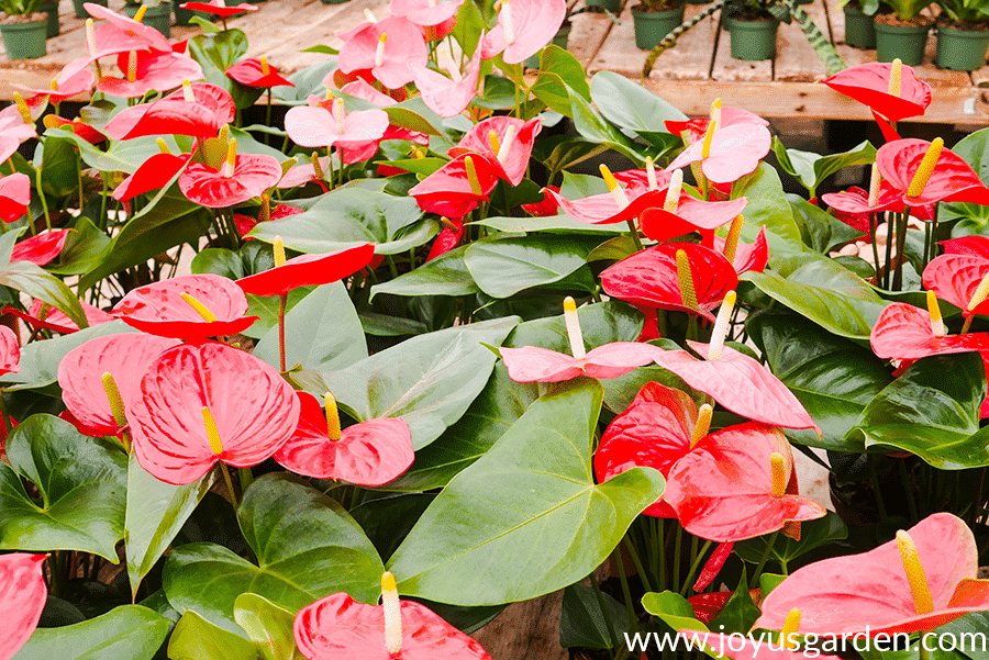 lots of Anthurium plants with red flowers growing in a greenhouse