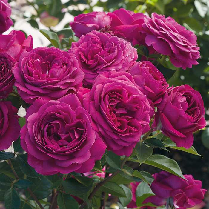 close up of beautiful plum colored celestial night rose flowers