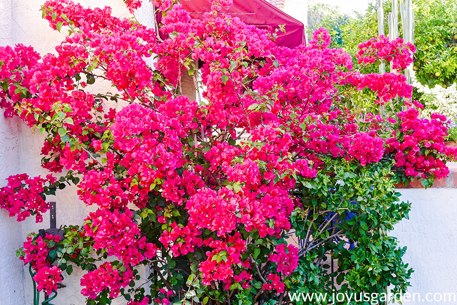 a bougainvillea barbara karst with red flowers in full bloom