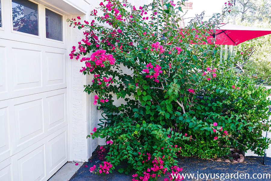 bougainvillea barbara karst with red flowers in partial bloom