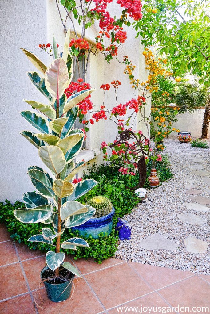 a tall narrow rubber tree plant in a colorful outdoor desert garden