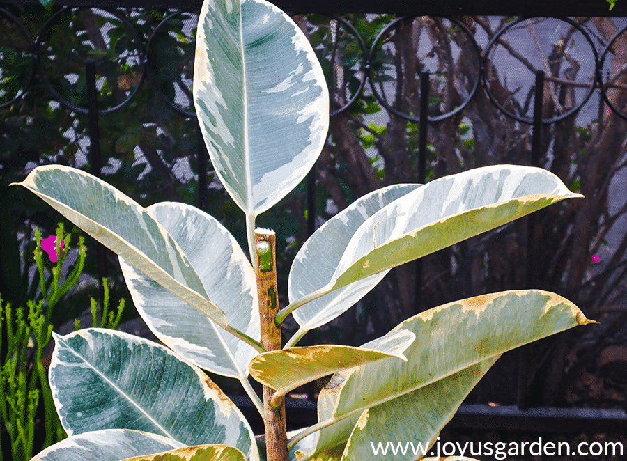 the top of a variegated rubber tree rubber plant ficus elastica which has been cut off