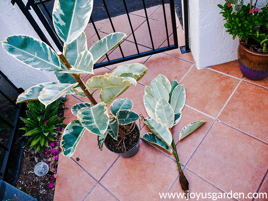 a variegated rubber tree rubber plant ficus elastica in a green grow pot stands next to the top of the plant which has been air layered & cut off