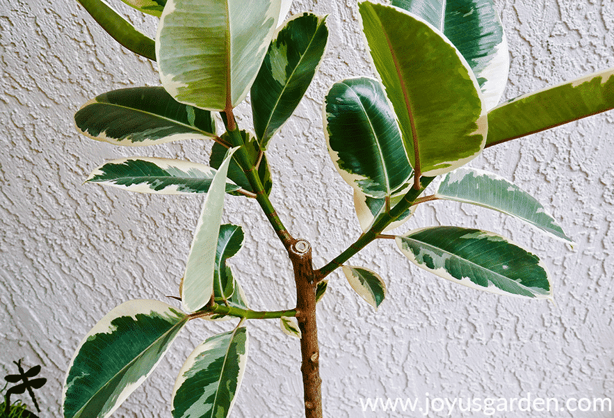 the branching at the top of a beautiful variegated rubber tree rubber plant ficus elastica