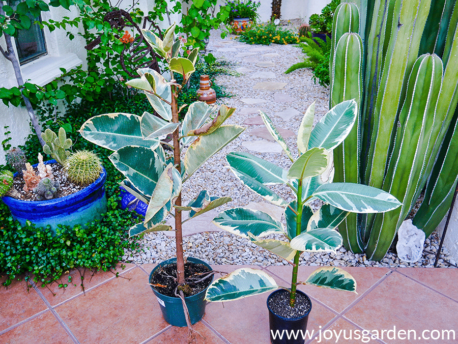 2 variegated rubber trees rubber plants ficus elasticas stand side by side in a desert garden