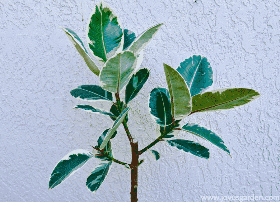 close up of the branching of a variegated rubber tree rubber plant ficus elastica