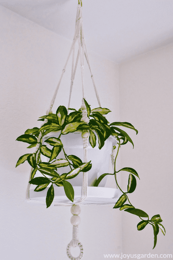 Hoya (Wax Plant) Houseplant Repotting: When, How & The Mix To Use