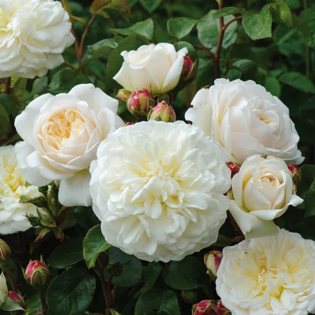 close up of beautiful white tranquillity rose flowers