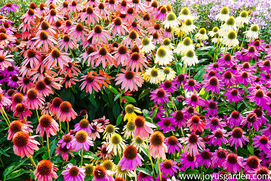 close up of echinaceas cone flowers in many different colors