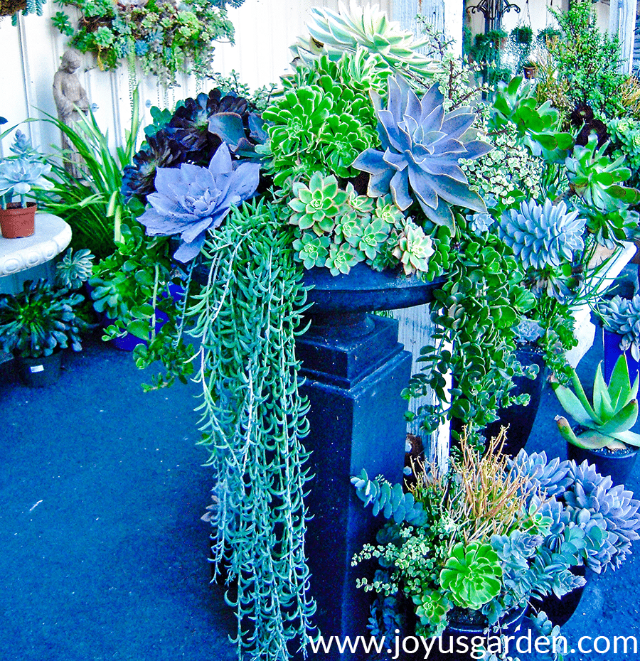a raised urn with a beautiful mixed succulent garden with trailing succulents all around