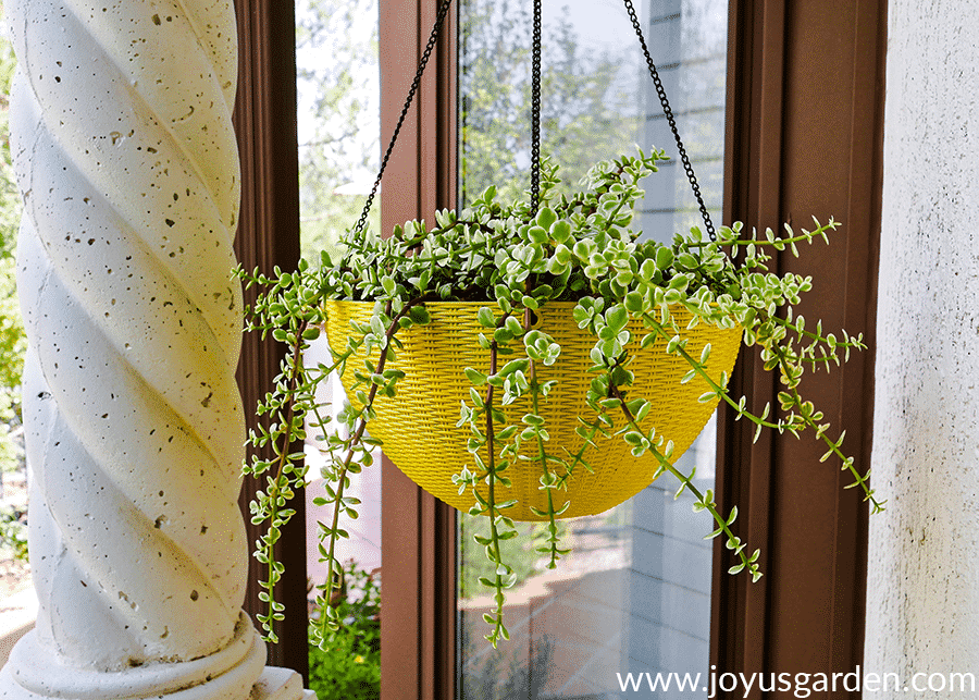 a variegated elephant's food succulent grows in a yellow hanging pot