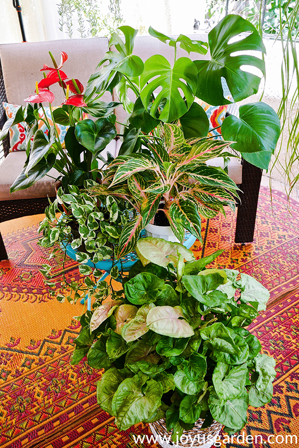 an anthurium in bloom monstera bright lights pothos 'njoy agalonema & arrowhead plant sit on a table on a patio