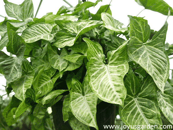 close of of an arrowhead plant syngonium podophyllum in a greenhouse