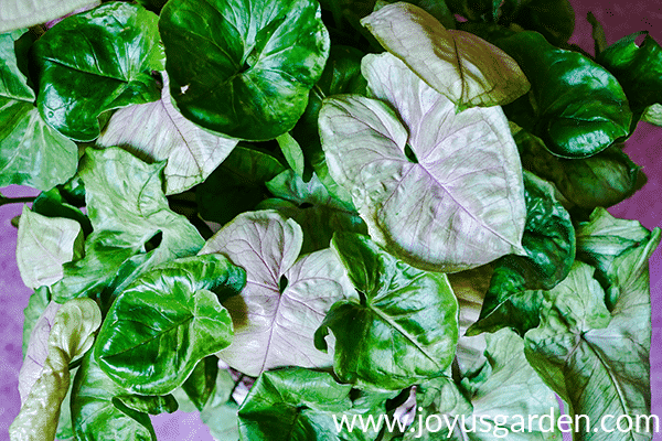 close up of the beautiful green & pink foliage of an arrowhead plant syngonium bold allusion