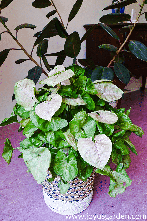 an arrowhead plant bold allusion sits on the floor in front of a rubber tree